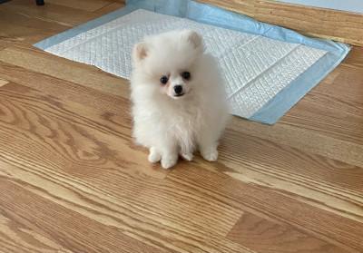 Pomeranian mini puppy white-cream