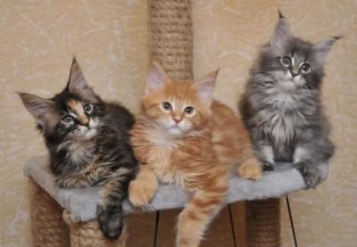 Мэйн Кун котята